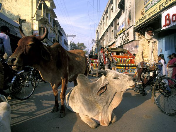 cow-on-street.[1]